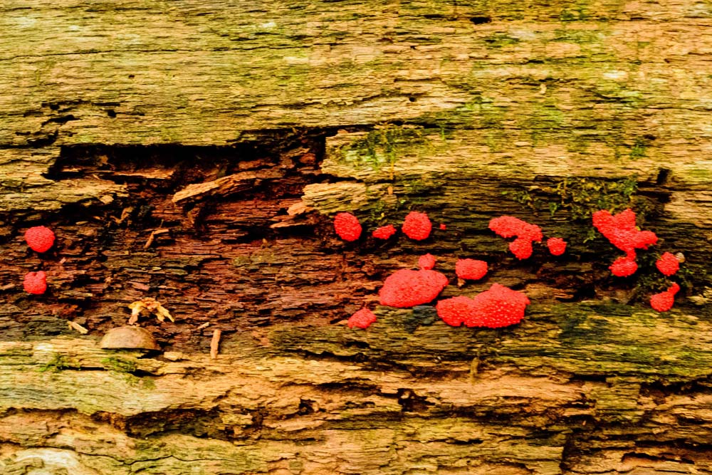 Red globs on a rotting log.  Help me to identify Maryland wild fungi mushrooms.