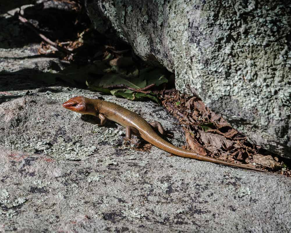 Broad Headed Skink on a rock