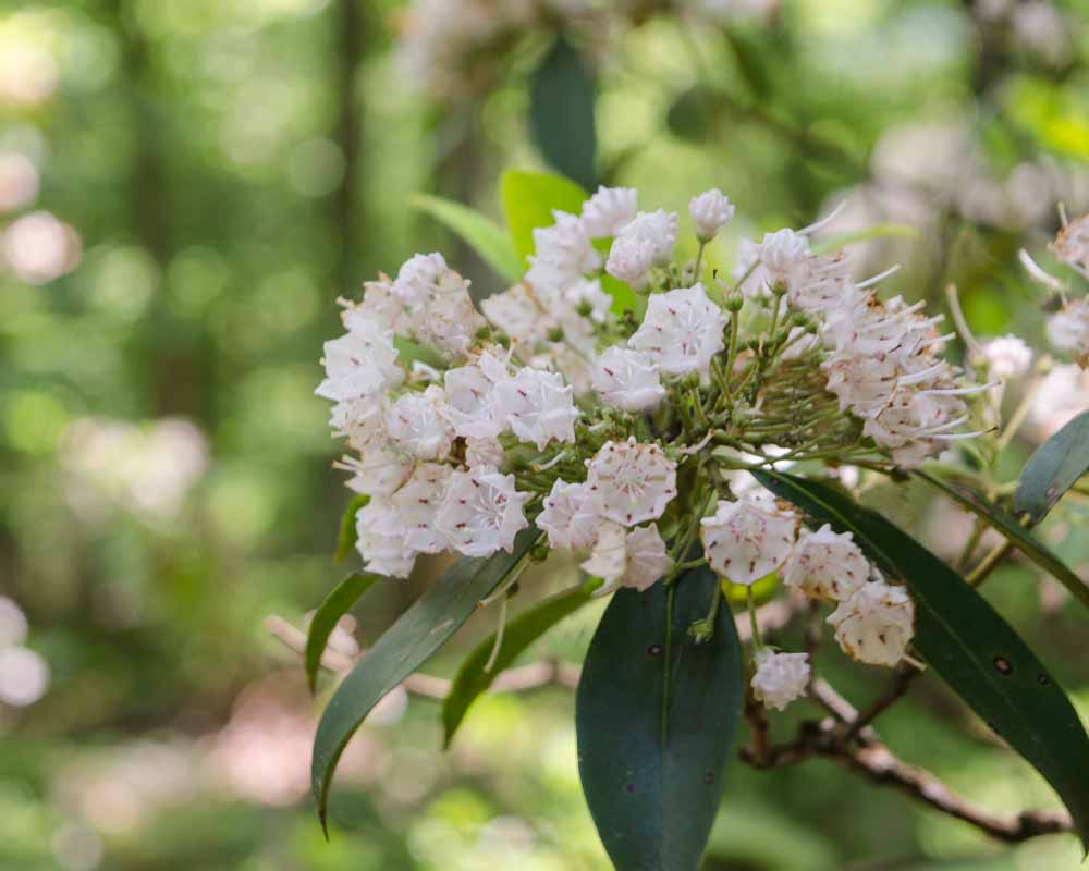 Mountain Laurel flowers on the summit