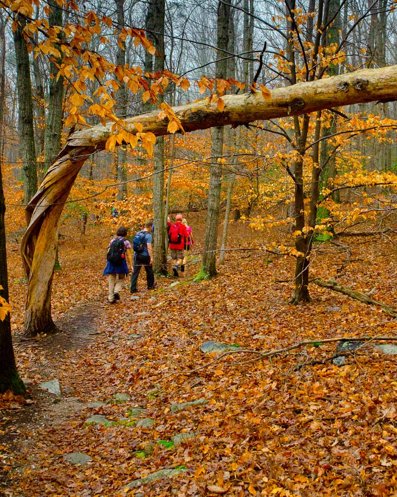 A twisted tree hangs over the Yellow Trail, with hikers passing under it